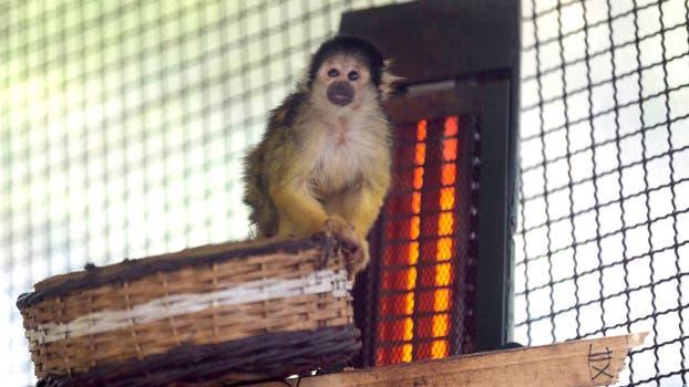 El saimirí o mono ardilla y su estufa. Foto: M. Aguilar López