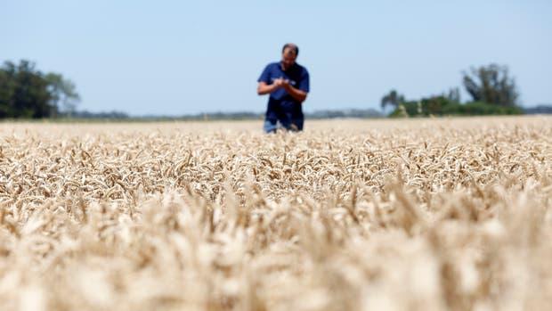 Menores ingresos en trigo por las inundaciones