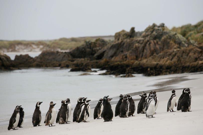 Pingüinos en la playa de Puerto Argentino. Foto: LA NACION / Mauro V. Rizzi