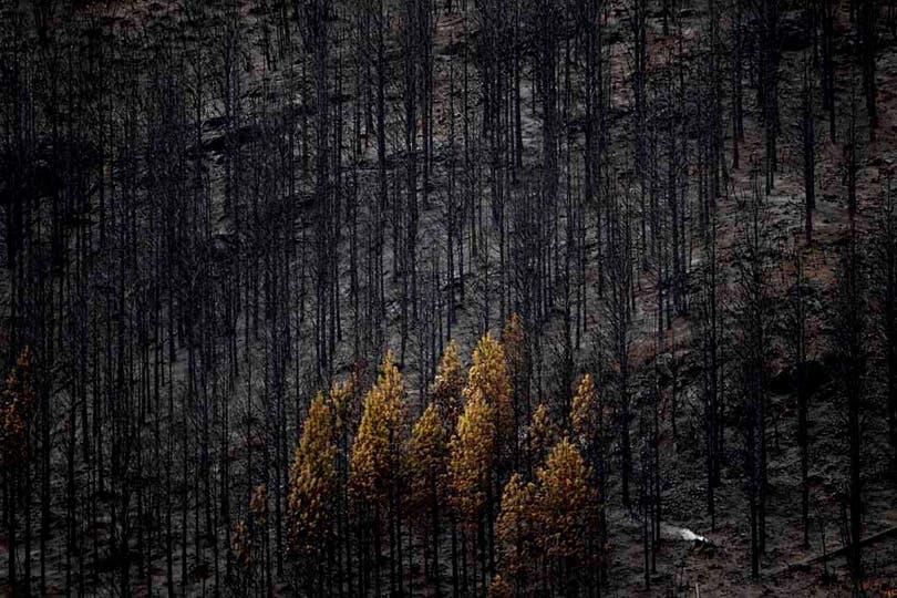 El contraste entre los pinos quemados y algunos pocos que pudieron resistir el paso del fuego. Foto: LA NACION / Emiliano Lasalvia
