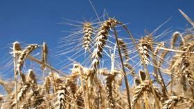 Tras caer más del 5% en la semana, el trigo de EE.UU. ganó en competitividad