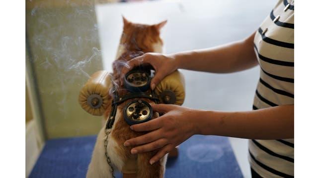 Un gato recibe tratamiento de acupuntura y moxibustión