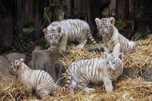 Los cuatro cachorros de tigre de bengala fueron presentados hoy en el zoo porteño. Foto: LA NACION / Mauricio Giambartolomei