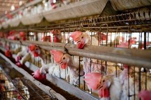 Las gallinas pueden permanecer toda su vida encerrada en jaulas, es necesario replantearnos esta situación.