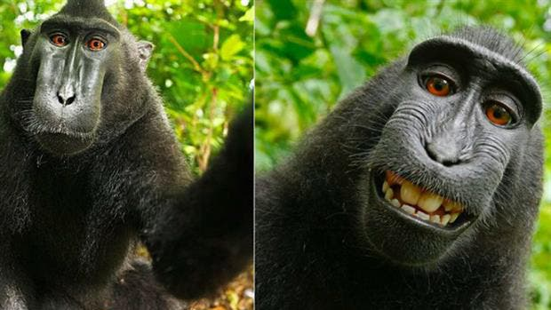 La selfie del mono: acuerdo extrajudicial para la foto más famosa de un animal