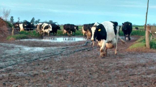 Complicaciones para las vacas en los tambos