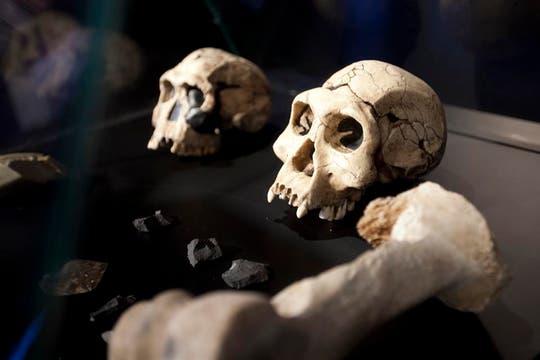 Cráneos de diferentes etapas evolutivas del hombre se encuentran en este espacio de evolución. Foto: LA NACION / Matias Aimar