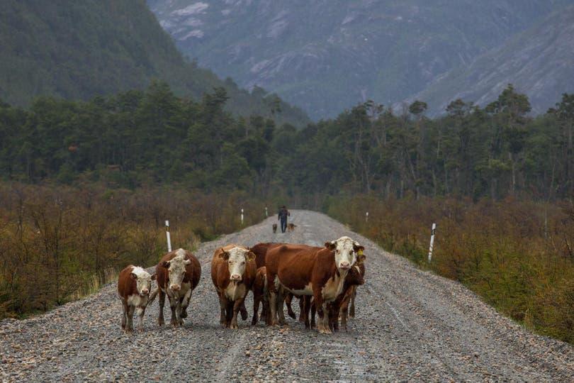 Vacas en las afueras de Caleta Tortel.Gustavo Castaing