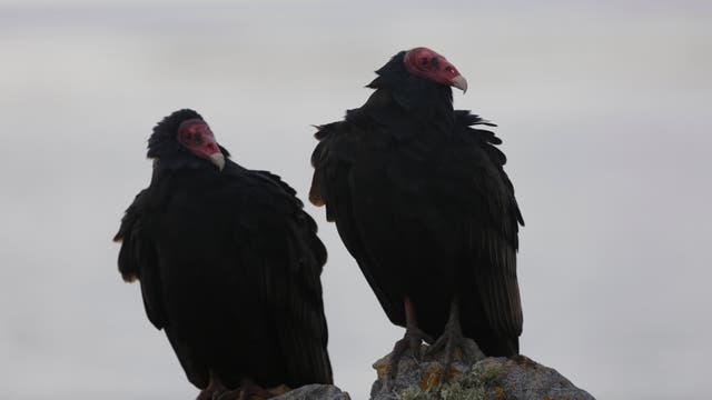 La fauna de Malvinas. Condores andinos. Foto: LA NACION / Federico Guastavino