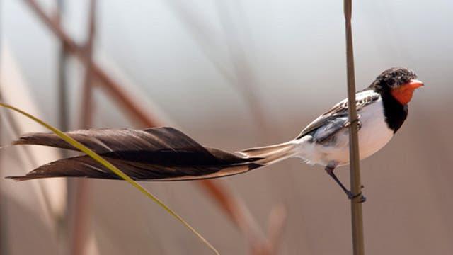 Yetapá de collar: el macho llega a medir unos 30 cm de largo y la hembra, unos 20. Esta ave se caracteriza por tener una cola larga y de color negro. Se estima que en el Iberá hay cerca de 20.000 ejemplares