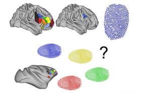 Imagen gráfica de las zonas del cerebro comparadas entre humanos y monos
