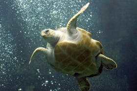 Ajustar la madurez sexual de las tortugas