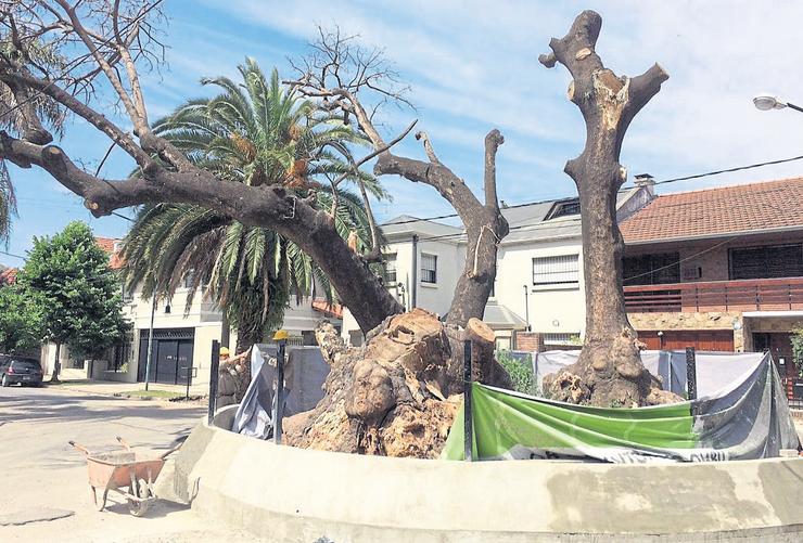 Noviembre 2017: el histórico árbol, luego de una poda drástica