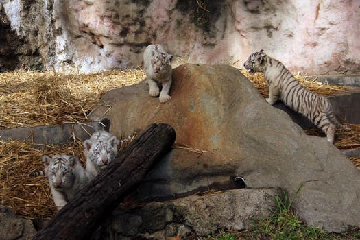 Los cachorros de tigre de bengala fueron presentados hoy en el zoo porteño. Foto: LA NACION / Mauricio Giambartolomei