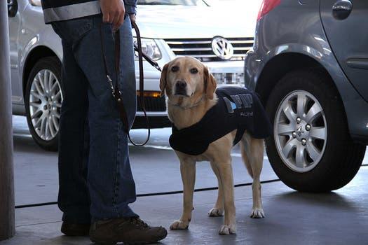 """""""Flecha"""", uno de los perros adiestrados de la Aduana. Foto: LA NACION / Darío del Olmo"""