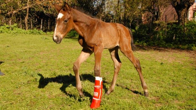 Uno de los caballos con la bota correctiva