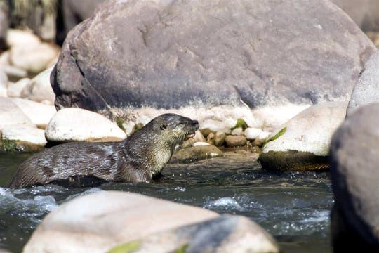 El lobito de río también se encuentra en la reserva. Foto: Amigos del Parque Nacional Calilegua