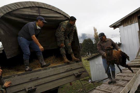Los animales son transportados en camiones militares hacia zonas menos riesgosas. Foto: Reuters