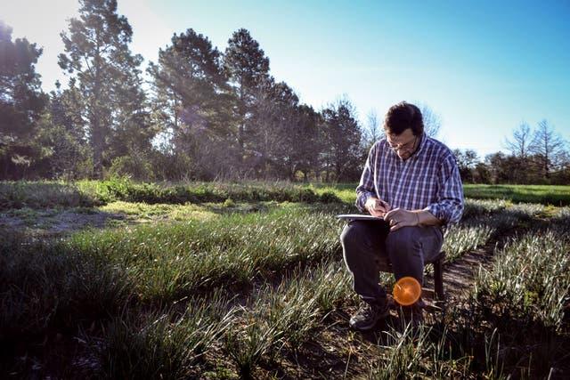 Los zefirantes crecen en un campo en Funes, cerca de Rosario.