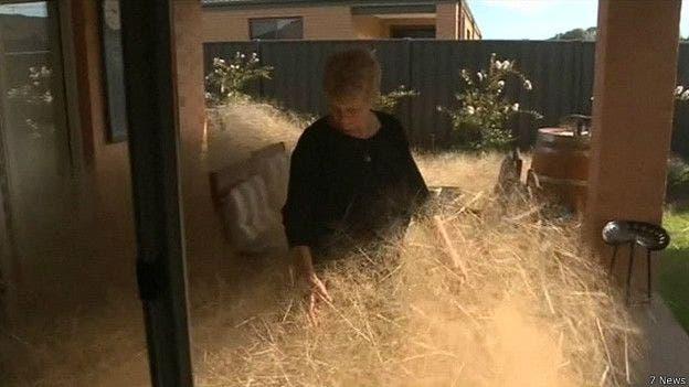 Cada día los residentes de Wangaratta pasan horas limpiando sus casas de esta maleza