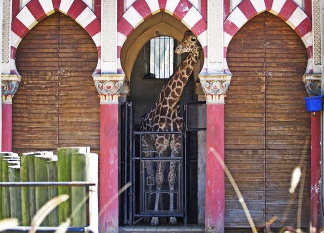 El plan oficial incluye mejoras para el recinto de las jirafas