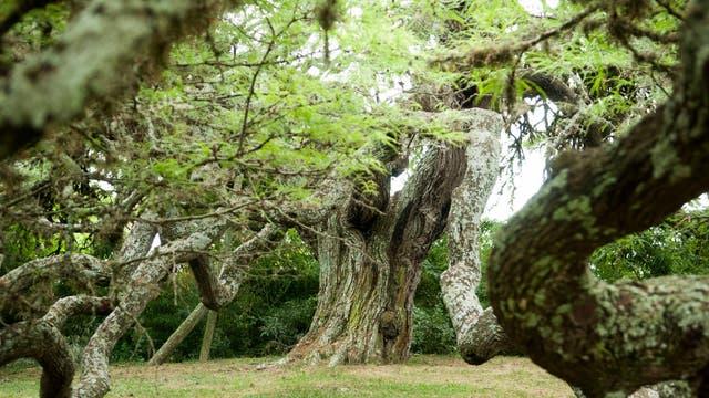 Algarrobo de Pueyrredón: la escritora Victoria Ocampo le dedicó en 1960 el libro Habla el algarrobo, donde el árbol cobra conciencia
