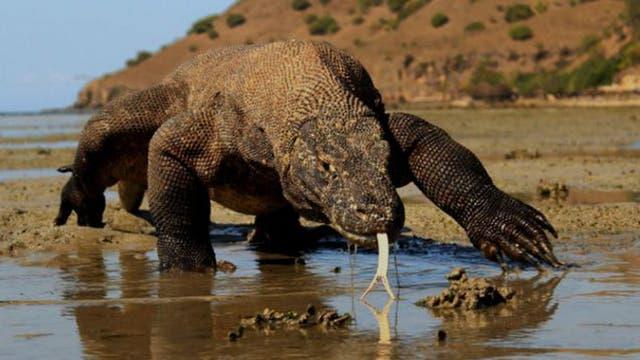 Los dragones de Komodo pueden corren a 29 kilómetros por hora para cazar a sus presas