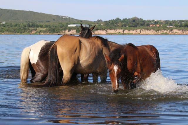En Cherubincha hay unos 200 caballos