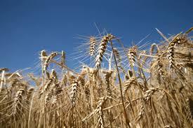 Suben las ventas de harina del cereal