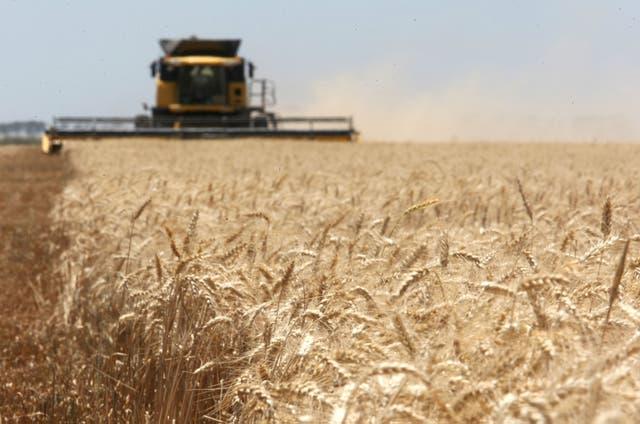 Buscan aprovechar la mayor cosecha del cereal en Brasil