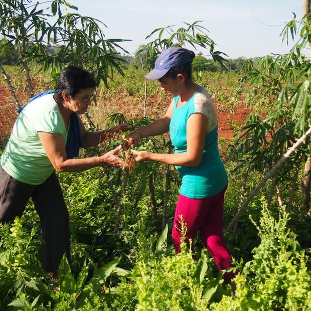 Señoras intercambiando plantas de alfalfa