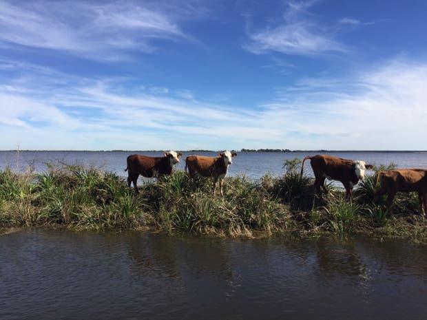 Un lote de animales sin recursos forrajeros por el avance del agua en la zona de Caá Catí, Corrientes