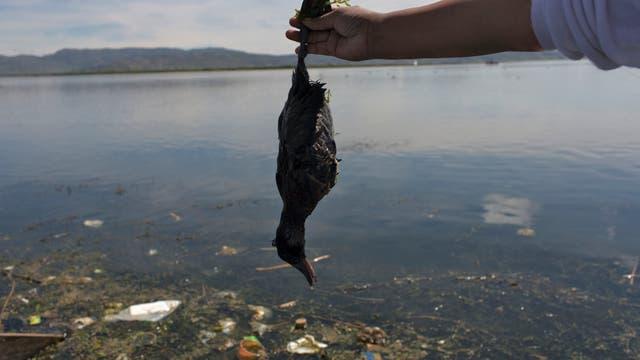 """La activista ambiental Maruja Inquilla sostiene un pájaro muerto llamado """"Choca"""", en la orilla del lago Titicaca, en Coata, en la región de Puno, Perú"""