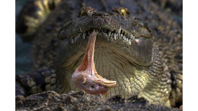 Un cocodrilo come una cabeza de pollo en el zoo de tigre de Sriracha