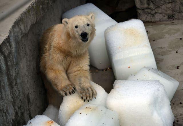 Así se encontraba el oso polar en el zoológico de Budapest