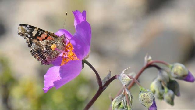La floración se debe al fenómeno climático de El Niño, que impactó con mayor fuerza este año