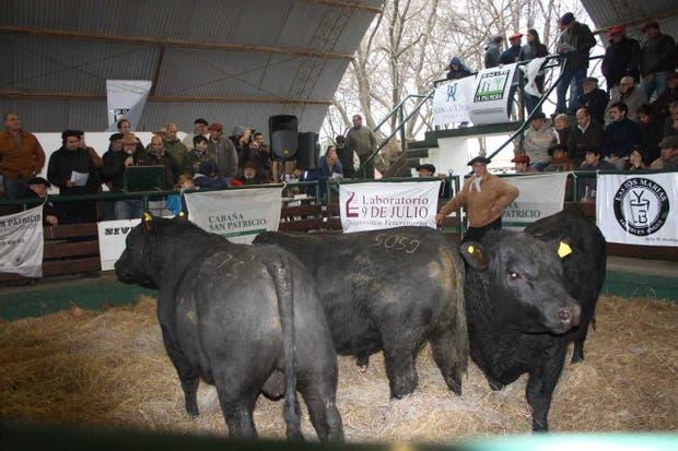 El primer trío de toros del 35° remate de Bustingorri Hnos., en la Sociedad Rural de Saladillo