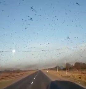 En Chaco las langostas estuvieron la semana pasada en varias regiones