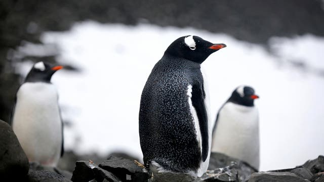 Colonia de Pinguinos a diez kilometros de la base, Caleta Poter, Antartida. Foto: LA NACION / Fernando Gutierrez