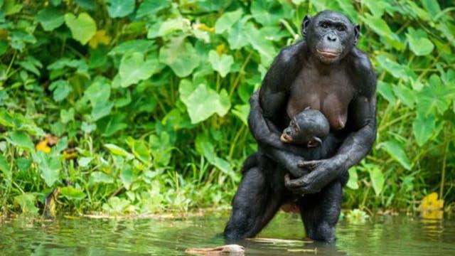 Entre los chimpancés es común que los machos maten a las crías de otros.