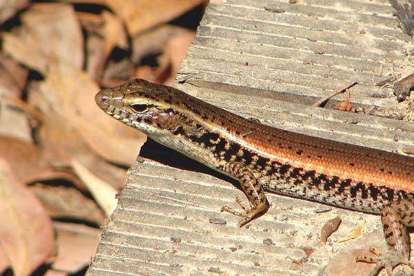 Un lagarto al sol. El comportamiento de la piel con la arena de una especie denominada Sandfish, contribuye al estudio técnico de la fricción