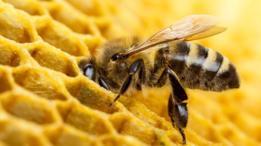 Al meter el néctar en la celda de la colmena, la abeja dispara el proceso que hará que la miel sea antiséptica.
