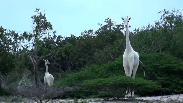 Las dos jirafas blancas que sufren de leucismo
