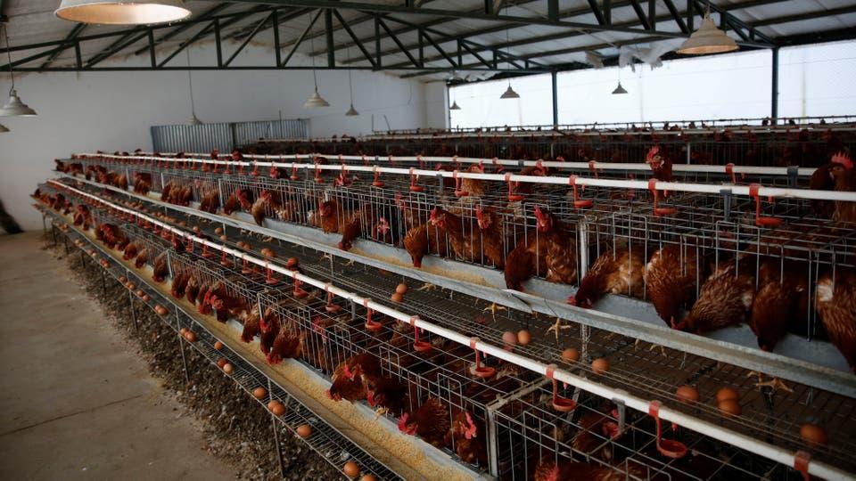 En la Escuela Agraria N° 1 crían gallinas ponedoras a escala comercial. Foto: LA NACION / Mauro V. Rizzi