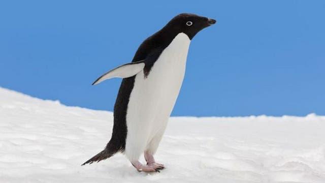El cuerpo liso del pingüino adelaida fue la inspiración para la base del pantógrafo