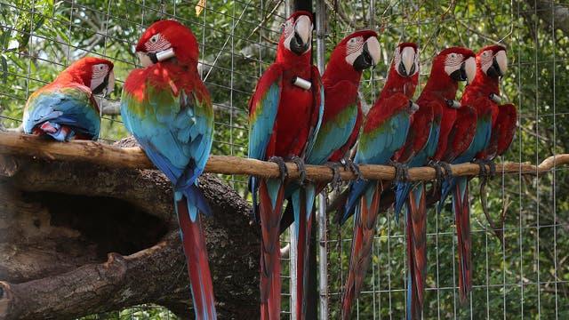 Siete guacamayos rojos fueron reintroducidos en los Esteros del Iberá. Foto: LA NACION / Santiago Hafford