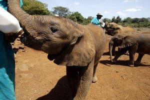 Adoptar un elefante, la alternativa en el combate contra el tr�fico de marfil