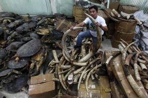 China: confiscan 620 tortugas introducidas ilegalmente para ser cocinadas