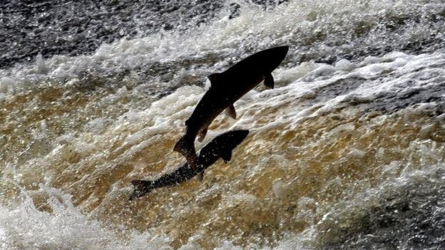 Cuando los salmones silvestres suben al río a desovar, los piojos mueren al entrar en contacto con el agua dulce