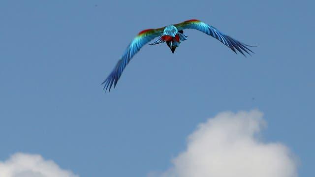 El primer ejemplar en su potente vuelo de  libertad. Foto: LA NACION / Santiago Hafford